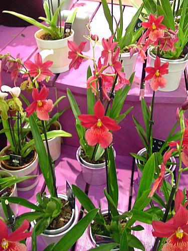 Orchidées 022
