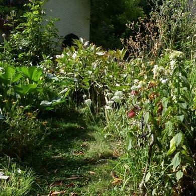 La récolte des cordons...