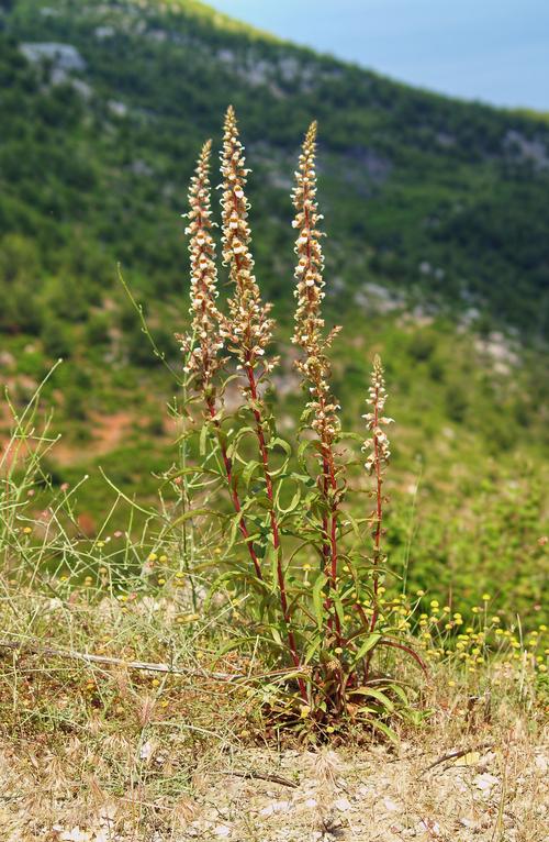 Fleurs cultivées : Digitale