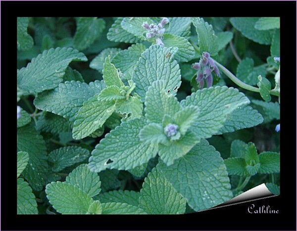 nepeta mussinii chat