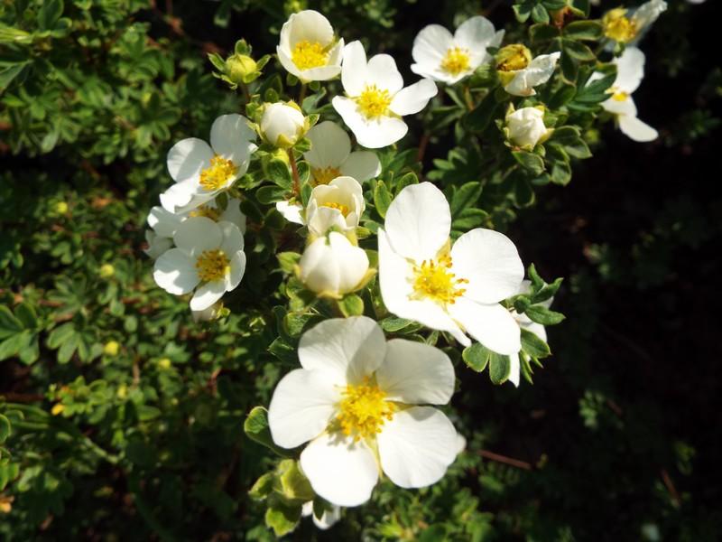 fleur blanches