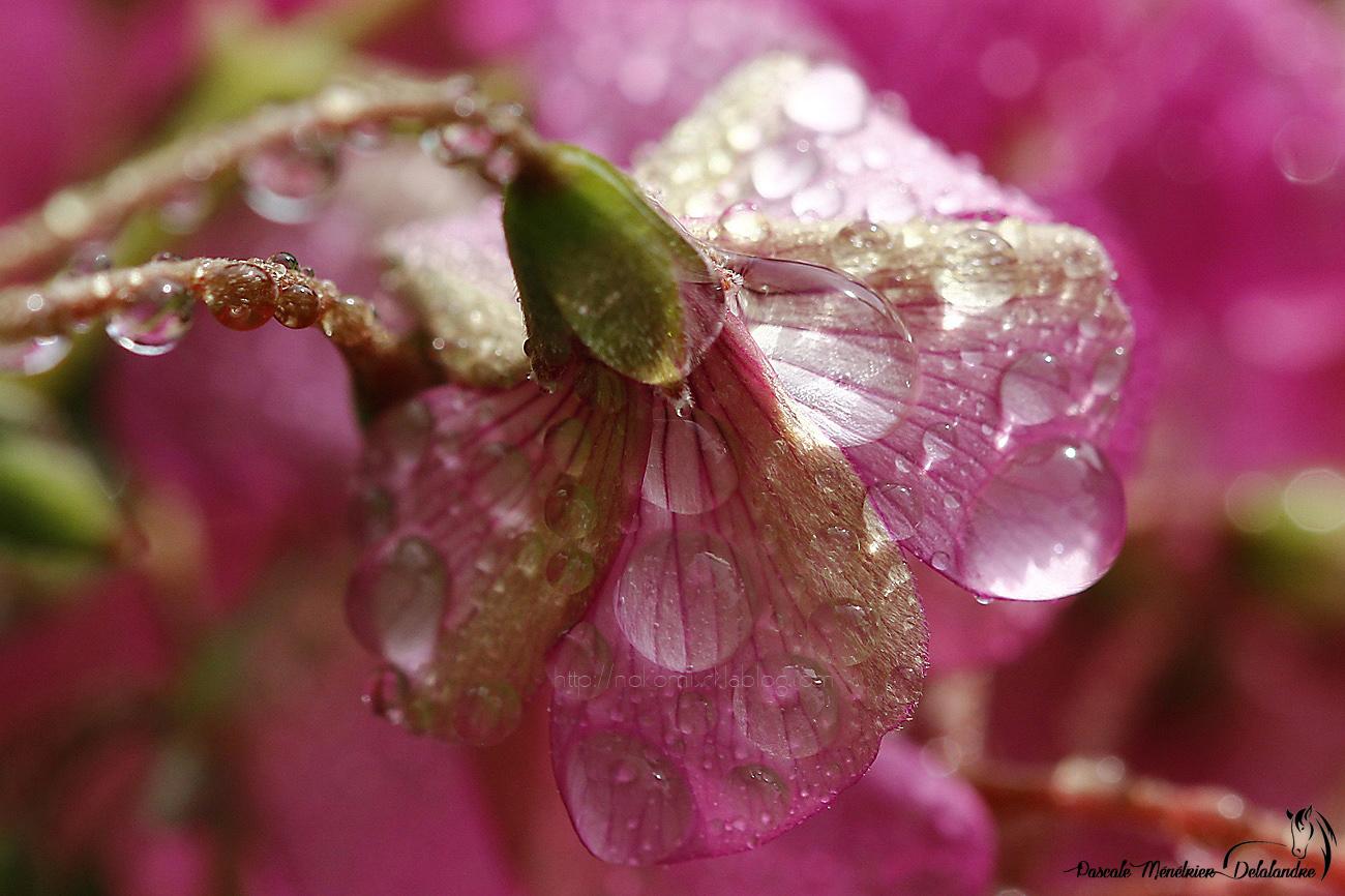 Perdes d'eau sur Oxalis deppei (famille des trèfles) - Oxalidacées (Oxalidaceae)