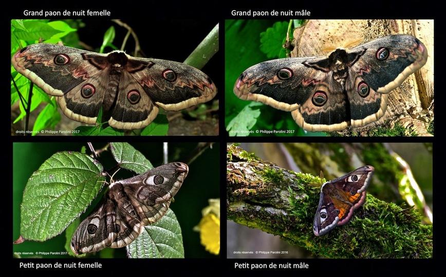 Le petit paon de nuit (pavonia pavonia)