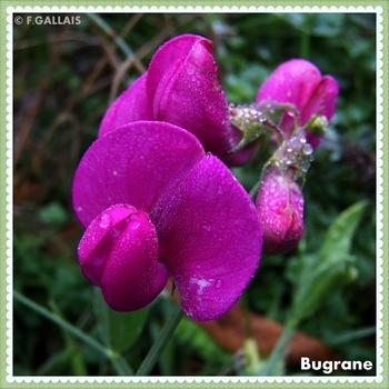 Bugrane-Ononis