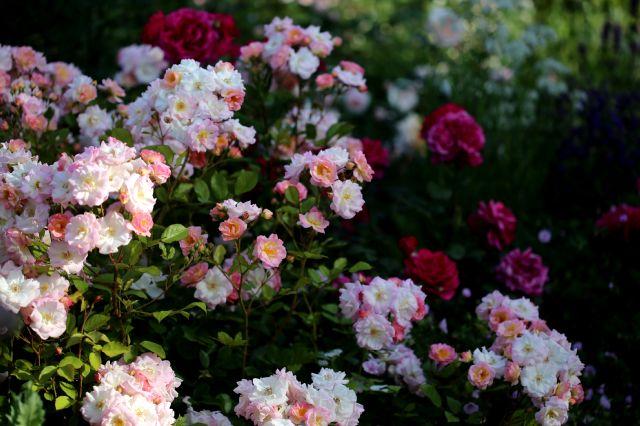 Les Roses de Warren : Pure of Heart