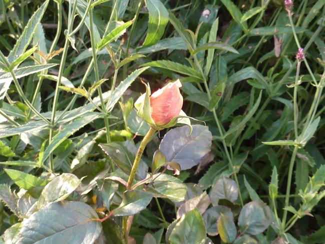 La rose du samedi n° 88