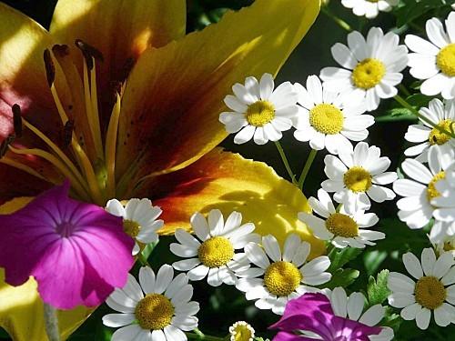 Lys-bicolore-25-06-12-004.jpg