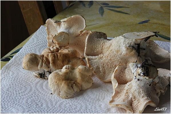 Champignons-0026-Pieds-de-mouton.jpg
