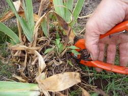 Plantation d'Iris