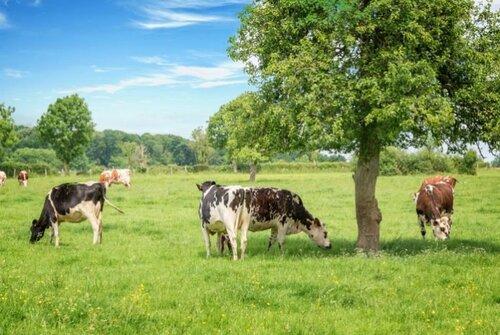 Des arbres pour abriter ses vaches