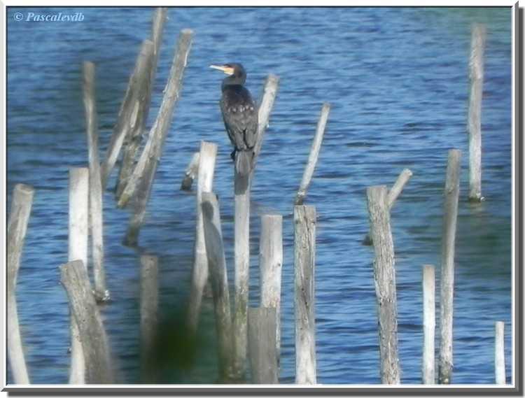 Parc ornithologique du Teich - cormoran