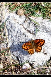 Satyre (mâle de la Mégère) ou Lasiommata Megera - Le satyre est reconnaissable à sa bande brune