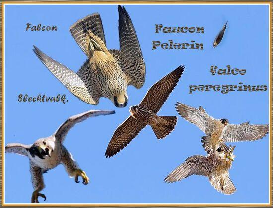 Faucons pèlerins ,Falco peregrinus, beffroi , Mons ,