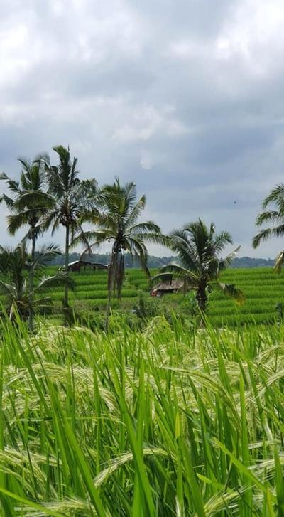 Voyage de Noces N°14 : Les rizières de Jatiluwih à Bali