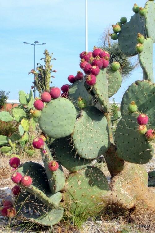 Les cactus...