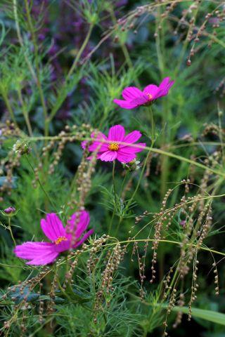 Des compagnes pour mes roses : Phaenosperma globosa