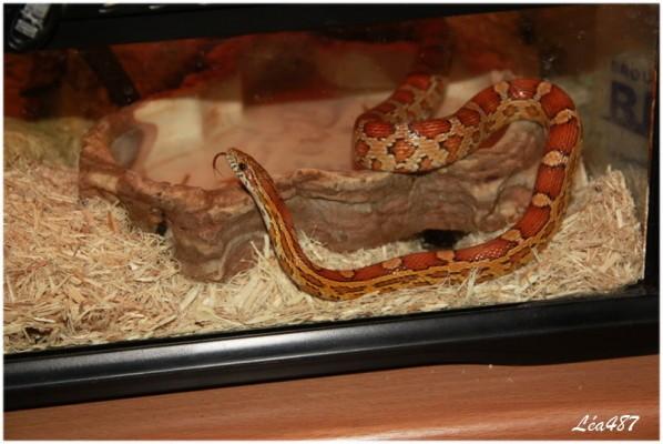 Reptiles-4956-Elaphe.jpg