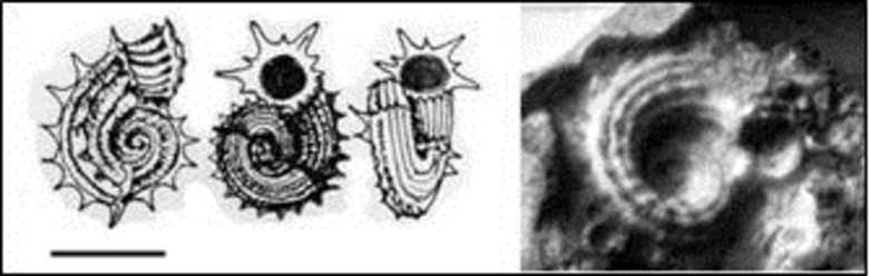 Pseudoliotina-danae--d-Orbigny--1847--copie-1.jpg