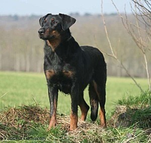 _big-32767-belle-beauceronne.jpg