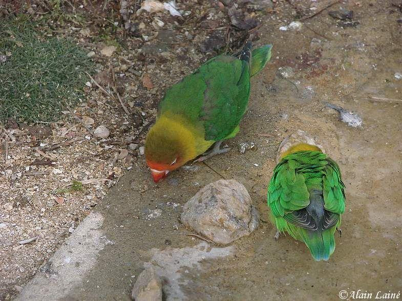 Oiseaux_exotiques_10Janv09_4