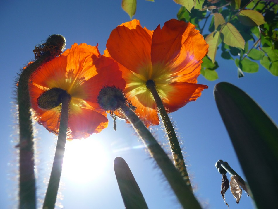 Duos de fleurs amiénoises