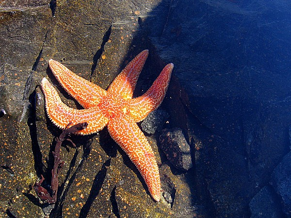 800px-White Sea StarFish, Russia