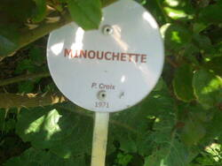 Rose Minouchette
