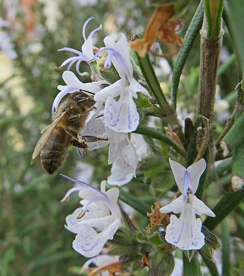 Vertus médicinales des plantes sauvages : Romarin