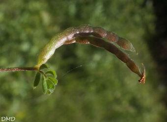 Ornithopus perpusillus  - ornithope délicat