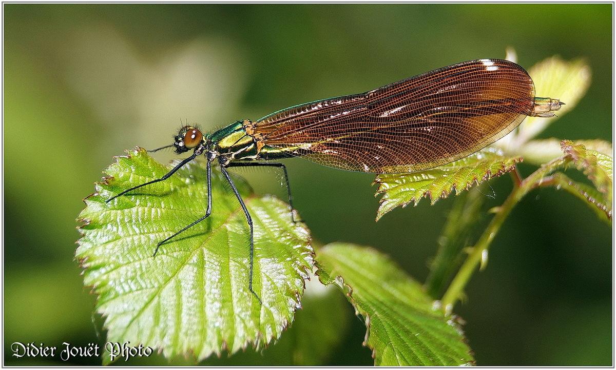 Caloptéryx Vierge (9) Calopteryx virgo / Femelle