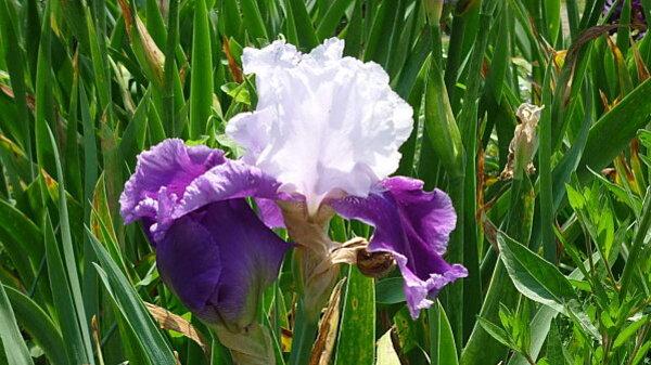 Iris-de-mai-035.JPG