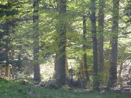 Sur les traces du Mouflon (L'Espérou - Aigoual)