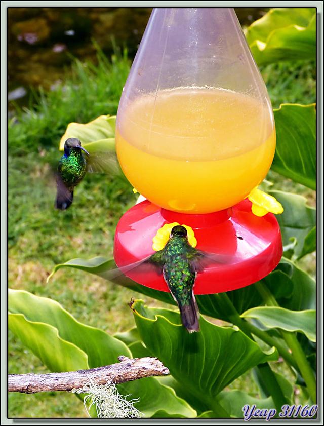 Blog de images-du-pays-des-ours : Images du Pays des Ours (et d'ailleurs ...), Le vol stationnaire des colibris thalassin - San Gerardo de Dota - Costa Rica