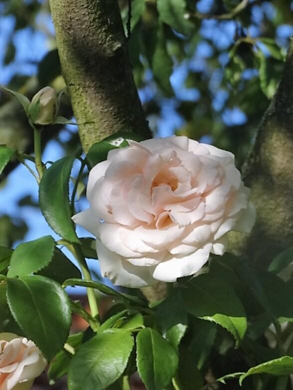 Un rosier coup de coeur: Prince jardinier