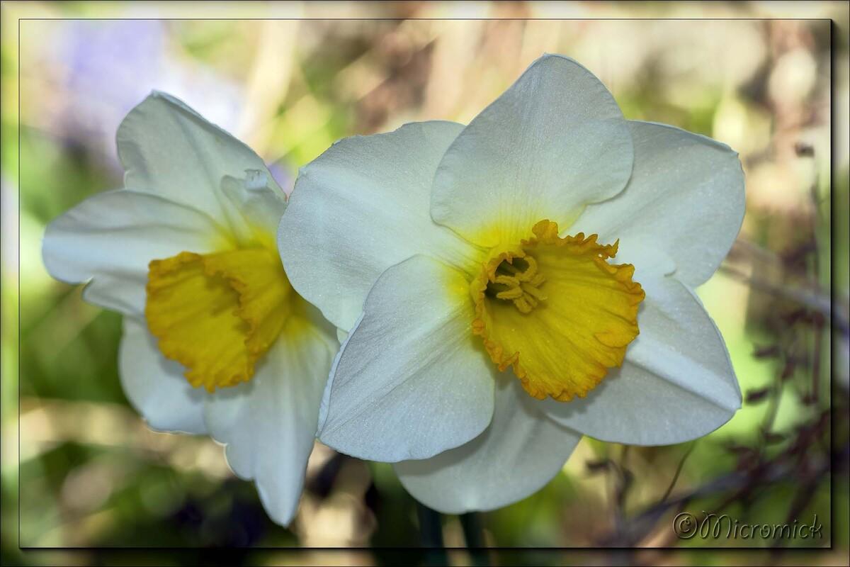 Narcisse (Narcissus)