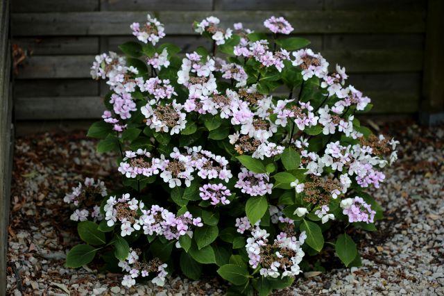 Hydrangea macrophylla 'Punch Coco'