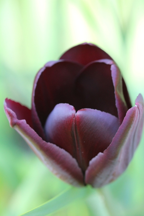 Tulipes et Cie