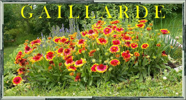 Fleurs cultivées : Gaillarde