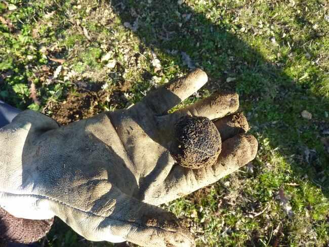 Toujours les truffes……
