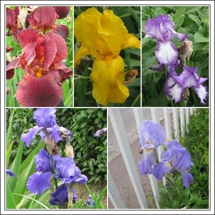 Les iris - Thème de Hauteclaire