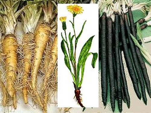 Vertus médicinales des légumes et des fruits : SCORSONERE