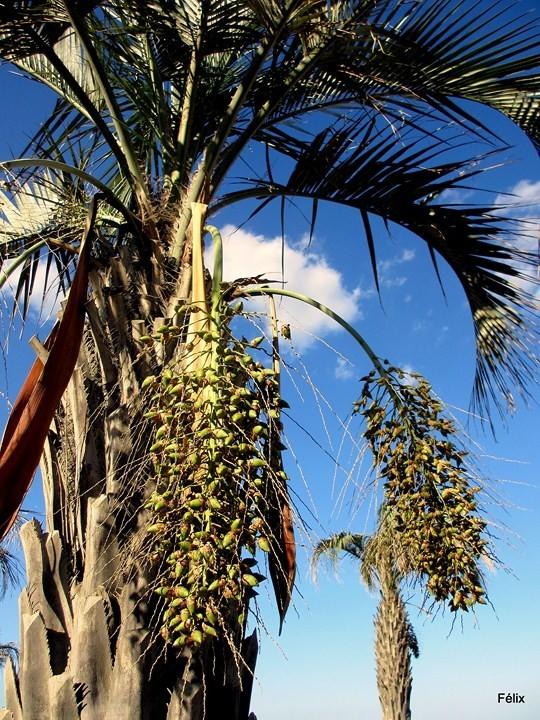 W03---Palmier-et-fruits.JPG