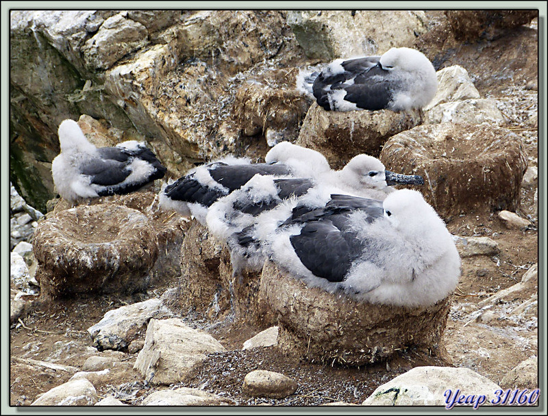 HLM à poussins d'Albatros à sourcils noirs (Thalassarche melanophris) - New Island - Falkland Islands, Iles Malouines, Islas Malvinas