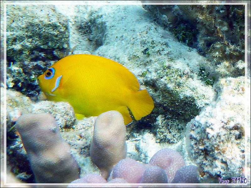 Poisson-ange citron, Lemonpeel angelfish (Centropyge flavissima) - Lagon de la Pension Kuriri - Maupiti - Polynésie française