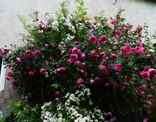 les roses en 2016