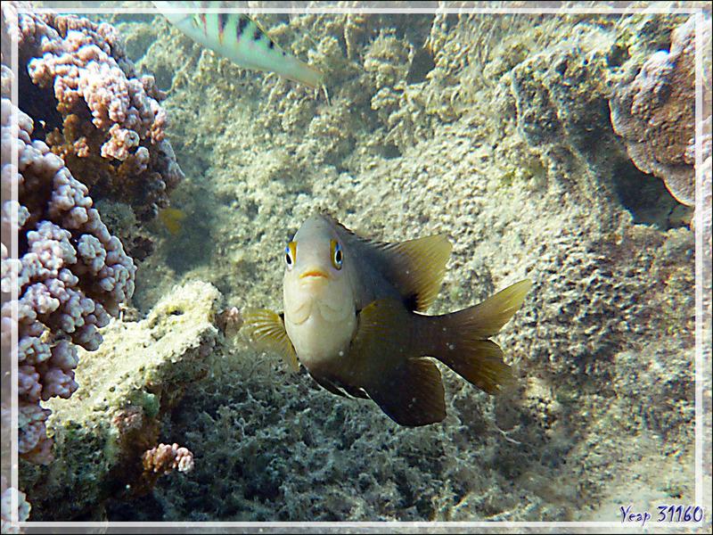 Grégoire noir ou Atoti, Dusky gregory or farmerfish (Stegastes nigricans) - Moorea - Polynésie française