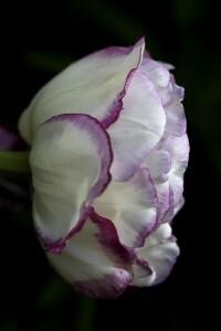 Tulipes Normandie8