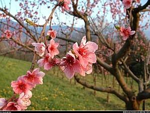000048-fleurs-d-arbres-frutiers.jpg