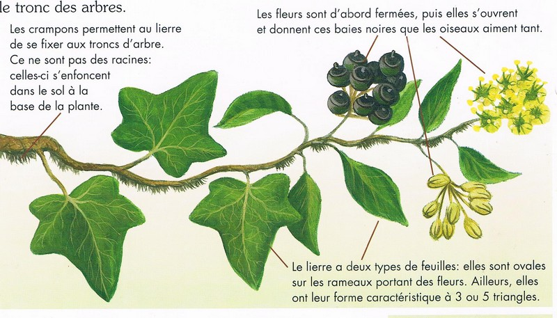 """Une plante attachante"" ....."