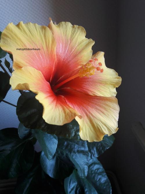 ... au coeur de l'hibiscus!